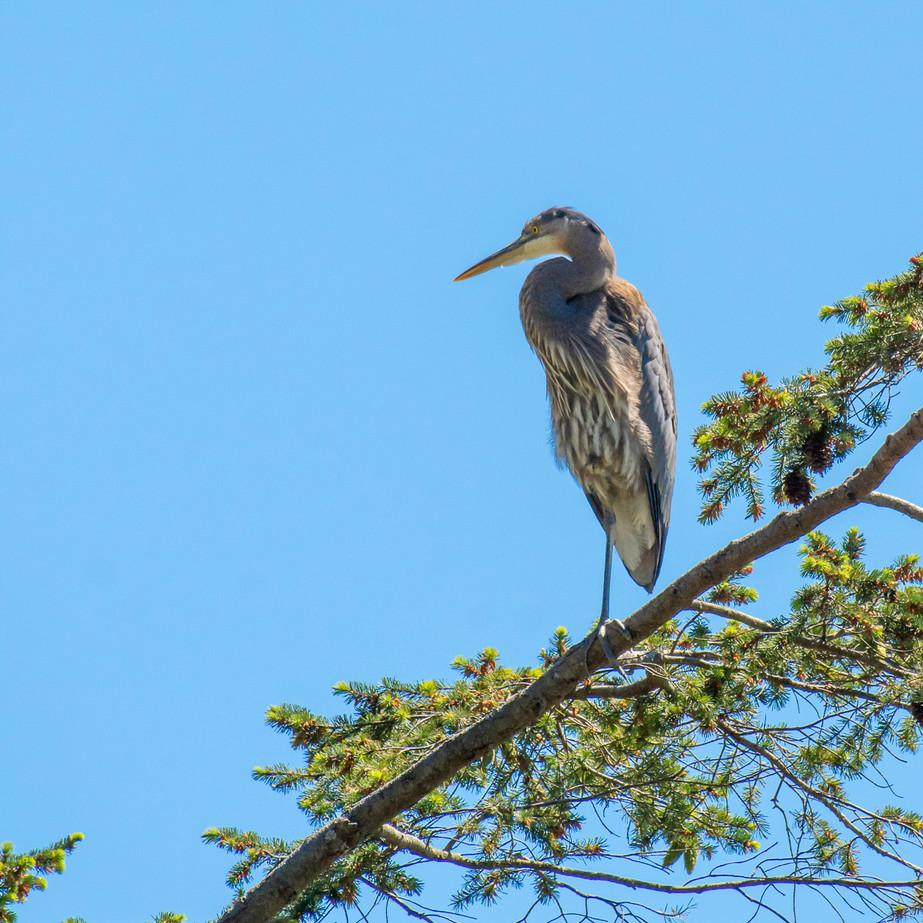 Great Blue Heron WL2_9396.jpg
