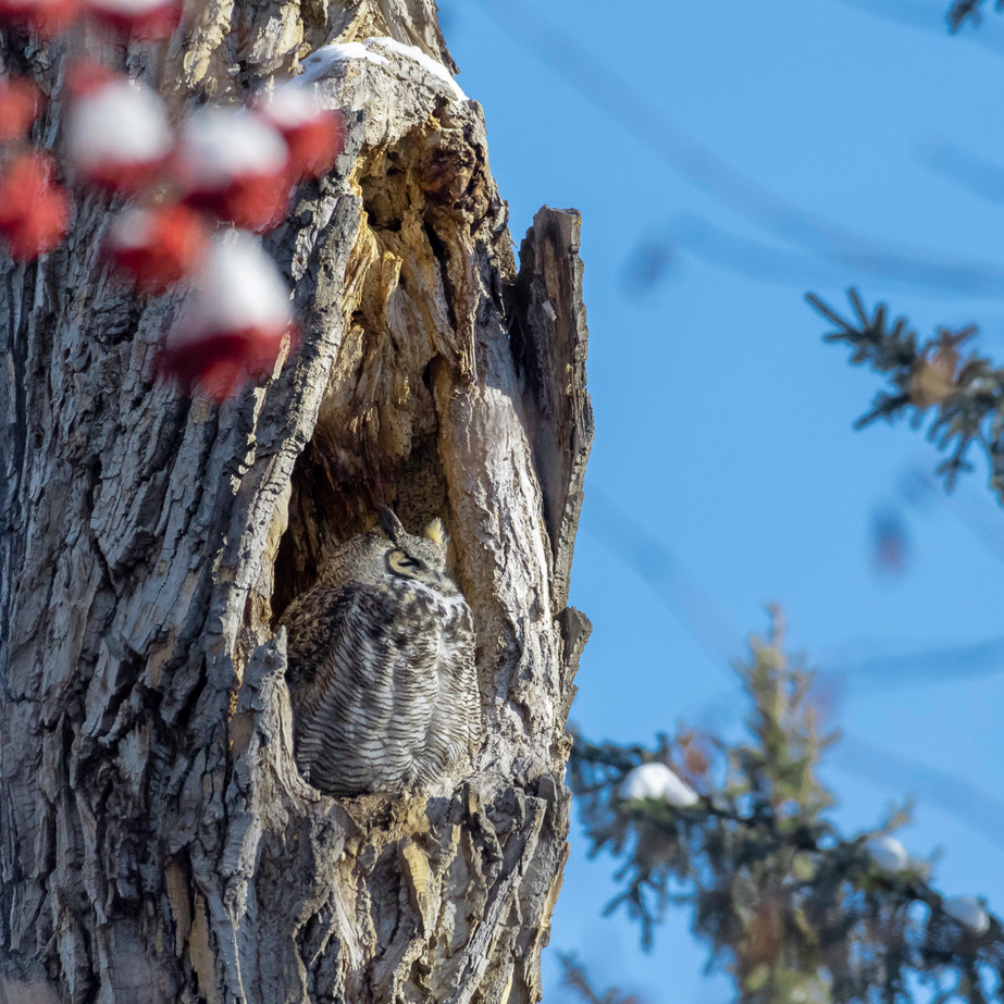 Great Horned Owl in tree cavity JAW_1892