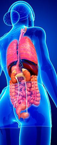 viscera inner organs, digestive system