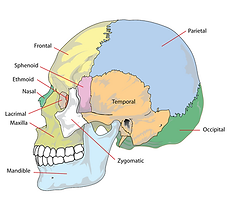cranium, head, skeleton