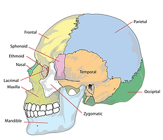 cranium, head, skeleton