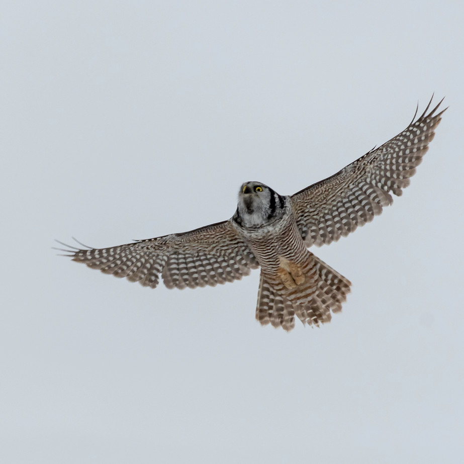 Northern Hawk Owl JAW_0396.jpg