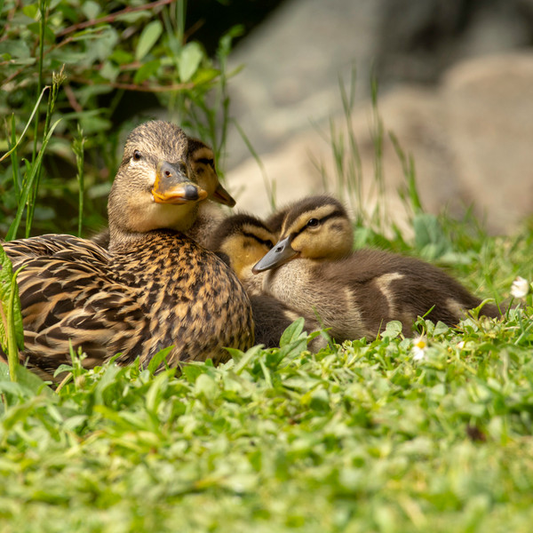 Mallared Duck with Ducklings WL2_4411.jp