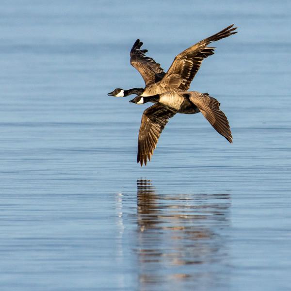 Canada Geese WL2_6023-2.jpg