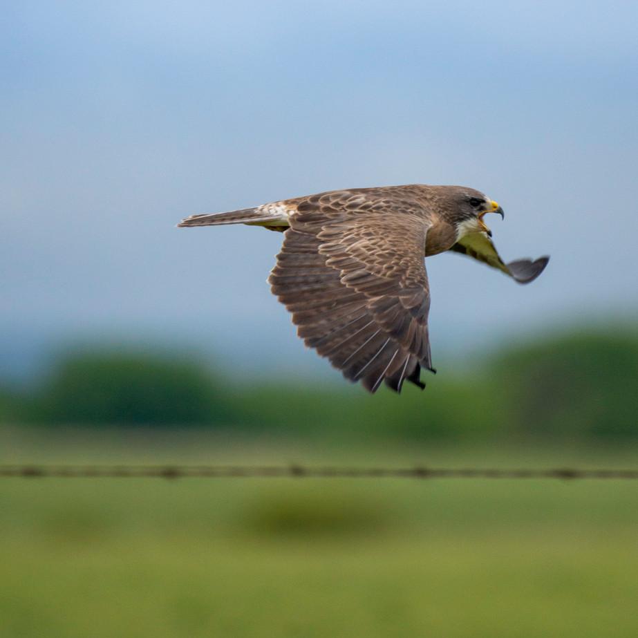 Hawk WL2_0662.jpg