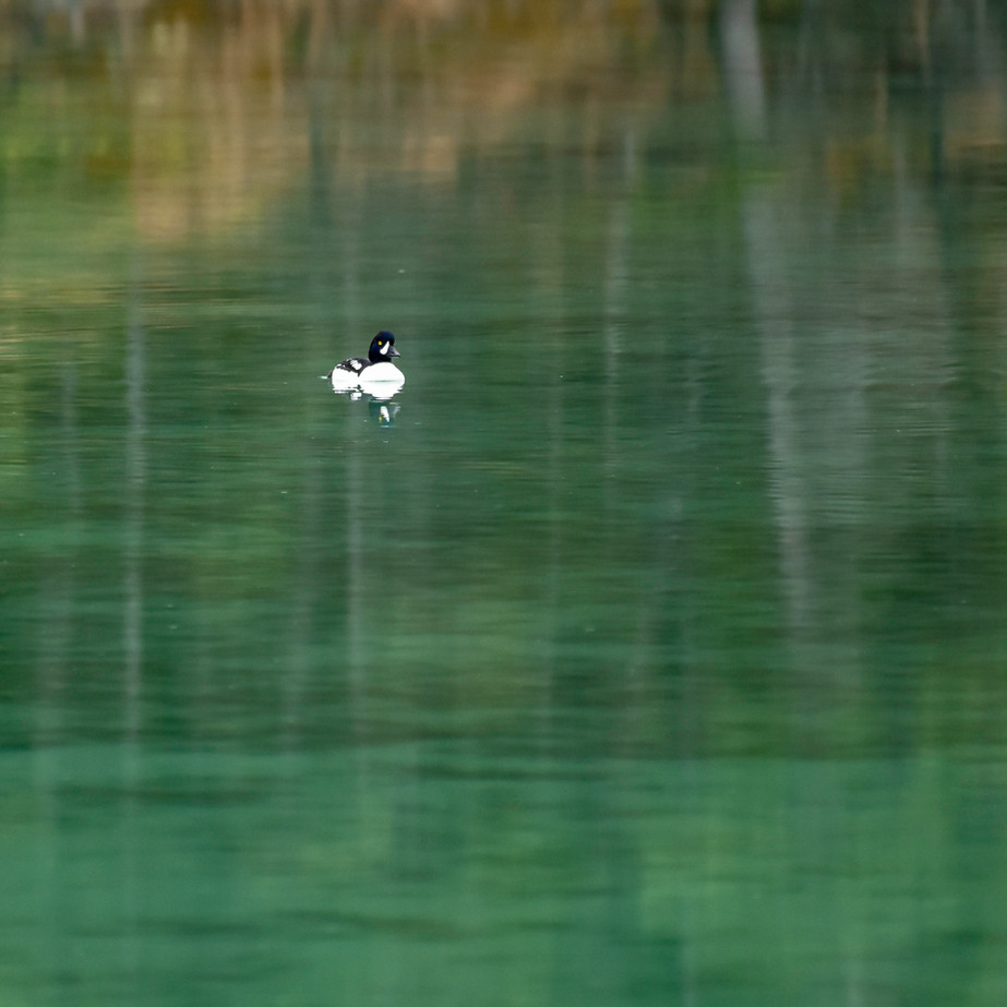 Duck WL2_2751.jpg