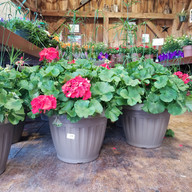 15in Geranium Combo Planter