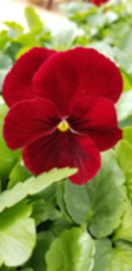 Scarlet Viola