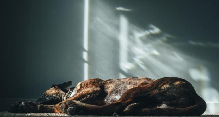 Cachorro Sonha? E Com o Que Sonha?