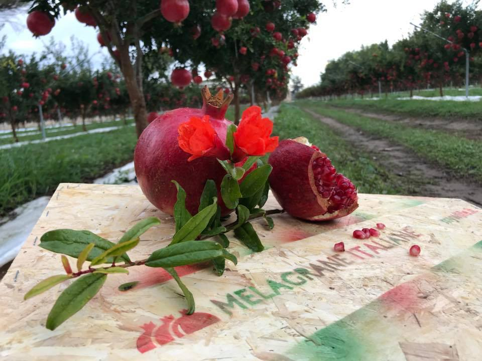 business plan coltivazione melograno
