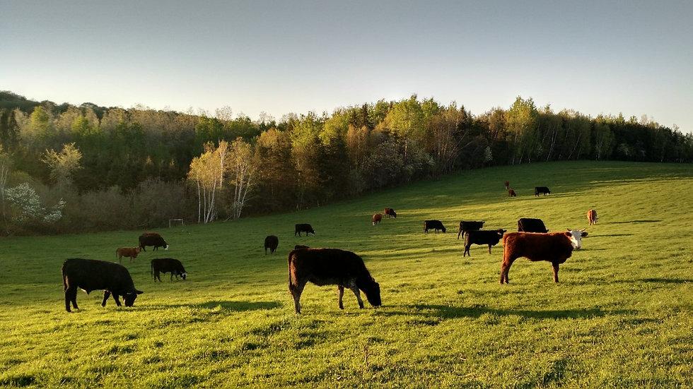 Vaches libres dans le champs