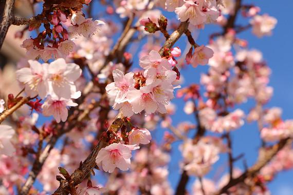 Sakura - Cherry Blossom
