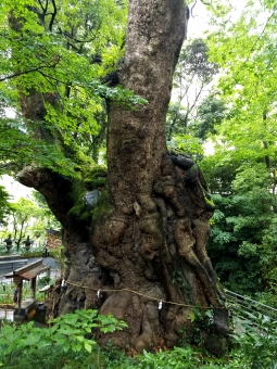 2000 years old Camphor tree