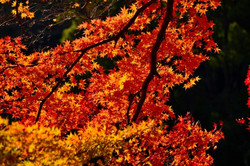 Red lieave in the fall