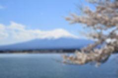 jci_fuji_sakura.jpg