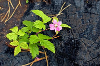 Pink flower that grows on a burnt tree s