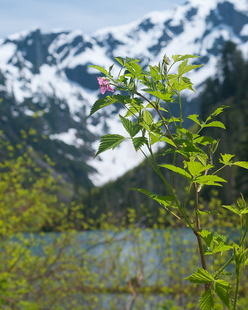 James Anderson   Salmonberry at Goat Lake   Photography