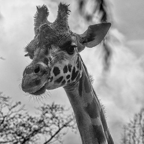 Lauren Heerschap   Giraffe in Monochrome   Photography