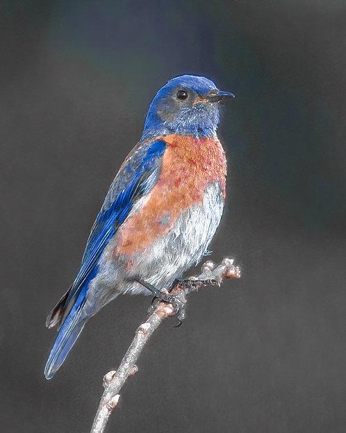 David Bibus | Western Bluebird | Photography