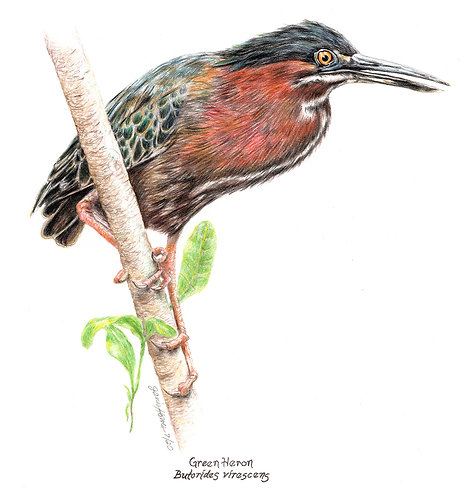 Janis Howes   Green Heron, Butorides virescens   2D