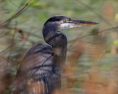 David Bibus   Heron Among the Reeds   Photography
