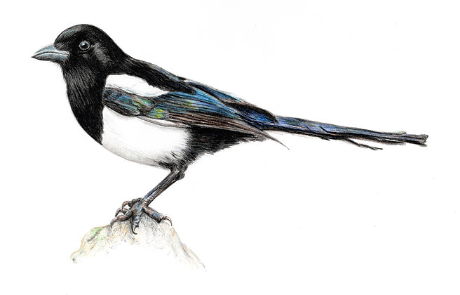 Janis Howes | Eurasian Magpie, Pica pica