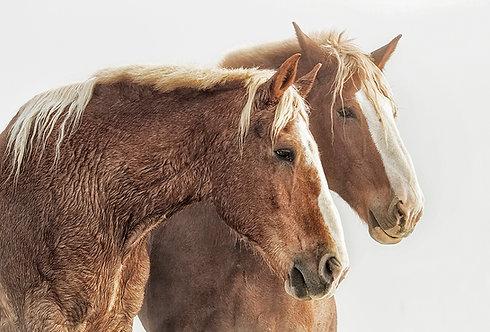Sonya Lang | Draft Horses | Photography
