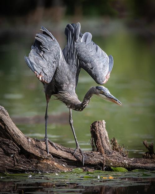David Bibus | Wings of a Heron | Photography