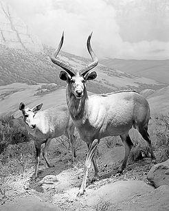 NRiley_ Tragelephus buxtoni (Mountain Ny