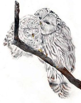 Ural owlsimage_GALJenniferMunson.jpg