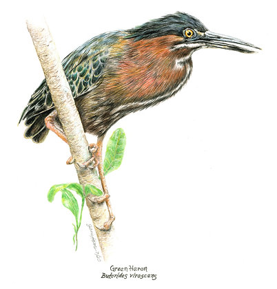 Janis Howes | Green Heron, Butorides virescent