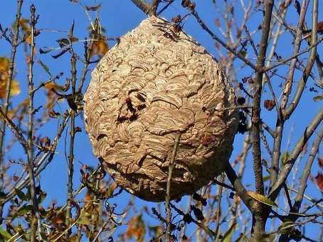 ►Frelons asiatiques - Mise en place d'une aide financière à la destruction d'un nid