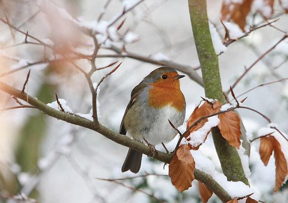 12049 Winter Robin