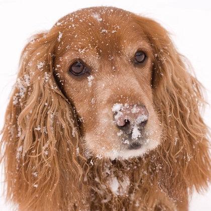 11055 Snowy Spaniel