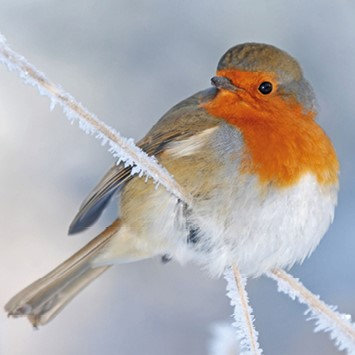T15094 Frosty Robin - Cost per pack isjust £1.50 (inc vat) rrp £3.00