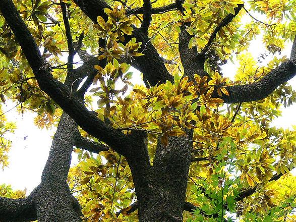 Buna Tree.jpg