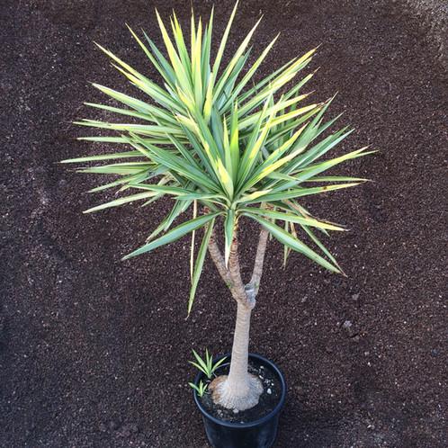 Yucca elephantipes jewel p pini res jardi sud for Yucca exterieur rustique
