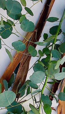 Shimmer Chef Eucalyptus.jpg