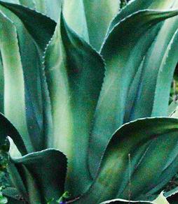 Shimmer Chef Aloe.jpg