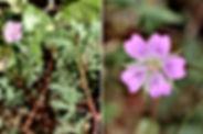 geranium_columbinum_nmk_20.jpg
