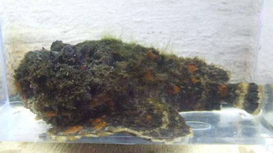 オニダルマオコゼ(約12cm)¥3,800