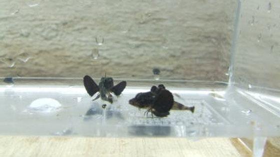 ホウボウ(約3.5cm)¥3,000