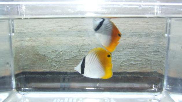 トゲチョウ(近海物)約5cm¥1,600