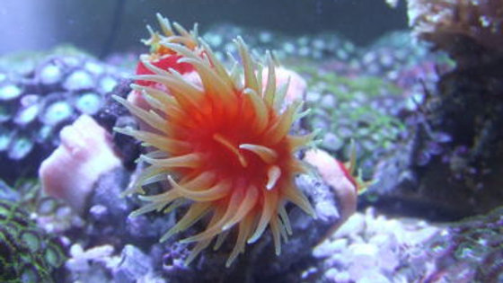 ハナタテサンゴ(開いて約4cm)1個¥1,200・2個付き¥2,300