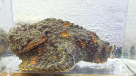 特価オニダルマオコゼ(約12cm)¥3,800