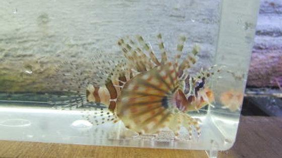 キリンミノカサゴ(約8cm)¥1,800 ※近海採取物