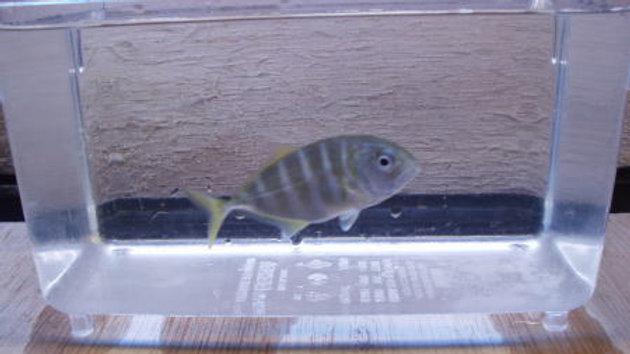 ギンガメアジ(近海物)6cm~7cm1匹¥2,500/3匹¥6,500