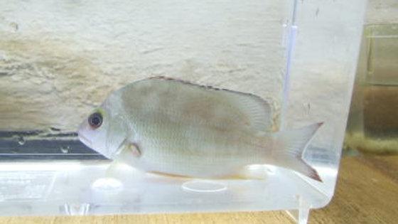 オキフエダイ(約9cm)¥1,700