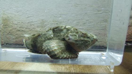 サツマカサゴ(約8cm)¥2,000