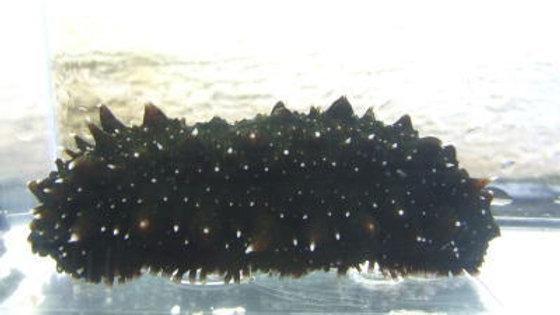 ナマコ(黒)約12cm¥1,200